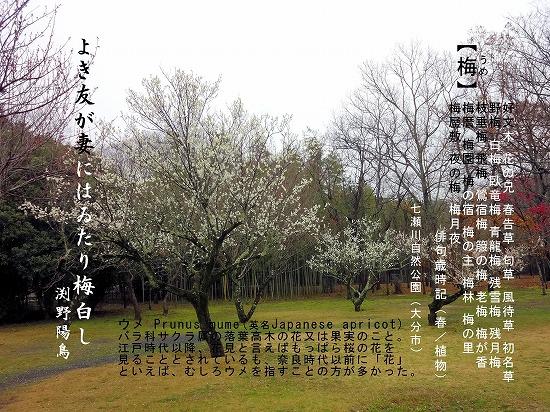 七瀬川の梅