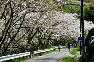 佐久間ダム親水公園のソメイヨシノ