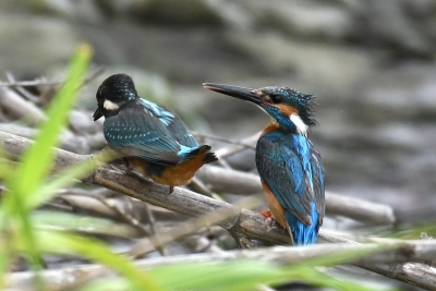 カワセミの親鳥と雛