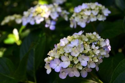 南房総市 日運寺の紫陽花