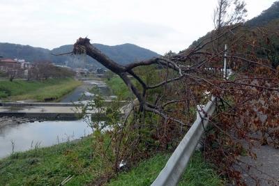 保田川・河津桜の被害
