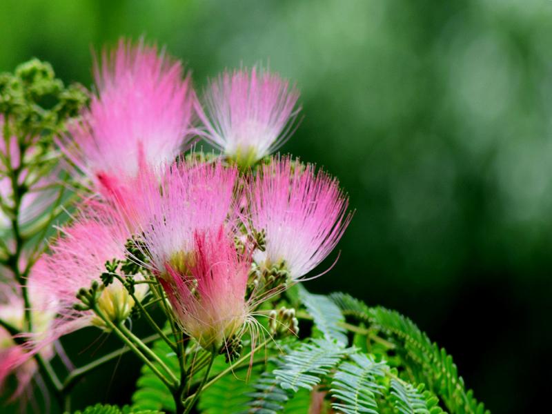 合歓の花04