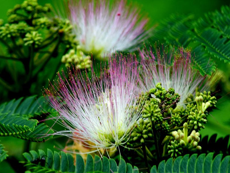 合歓の花03