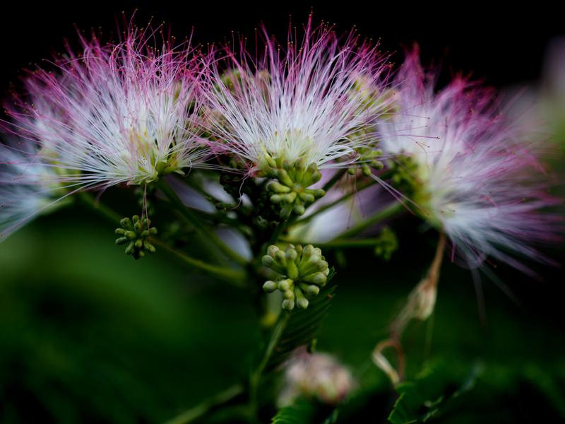 合歓の花08