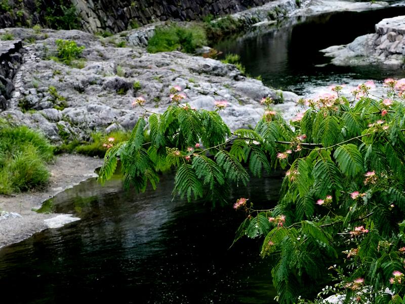 合歓の木06