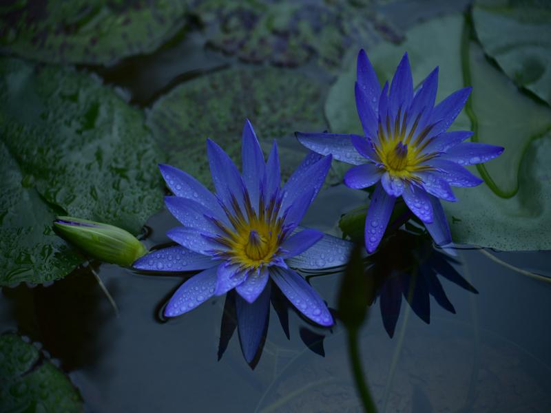 青い睡蓮05