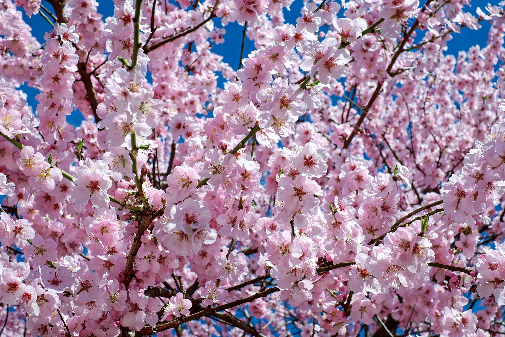 japanese-cherry-trees-2168858_1920.jpg