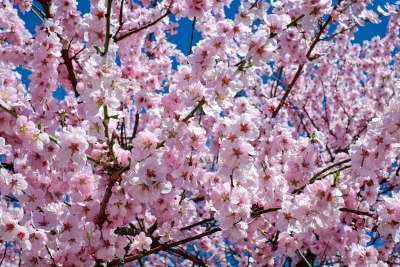 japanese-cherry-trees-2168858_1920.jpg