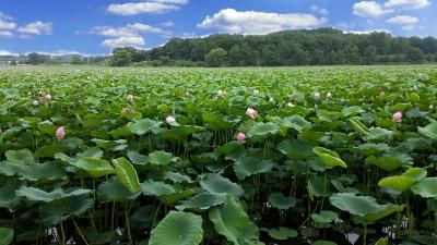 lotus-423166_1280.jpg