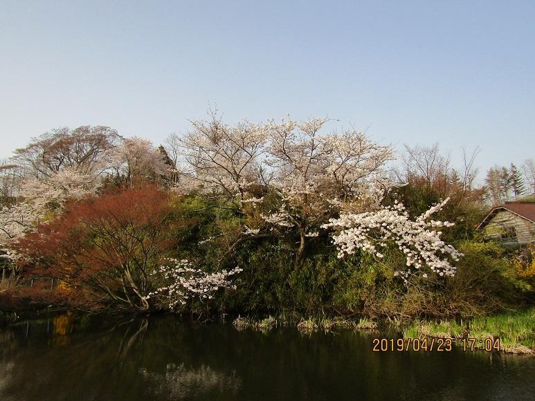 水辺に桜1