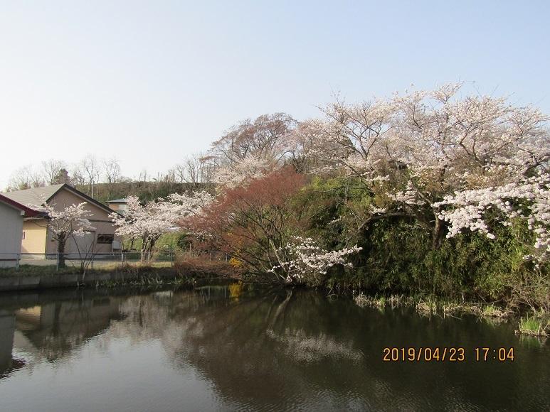 水辺に桜2