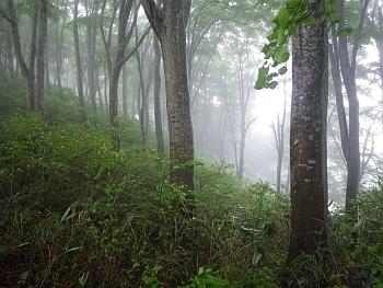 ブナ林は雨が似合う 飯山市