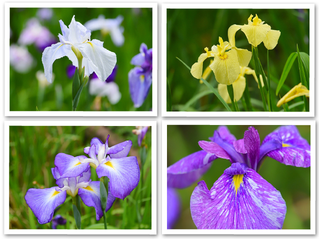紫陽花巡り