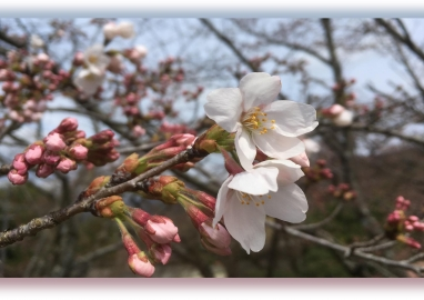 20190402桜B