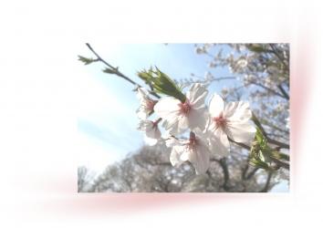 20190409春桜