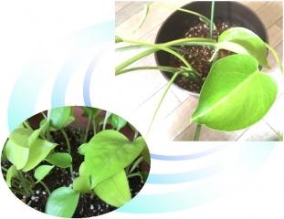 20190716観葉植物A