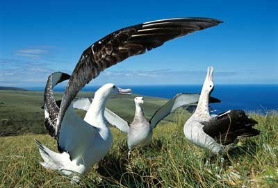 s-royal-albatross.jpg