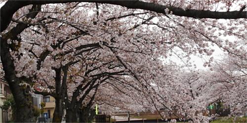 桜とっても綺麗