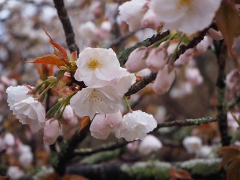 雫付き御室桜
