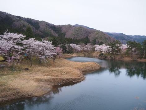 ダム湖沿いの桜