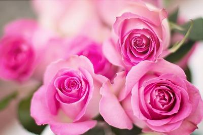 s-pink-roses-2191631_960_720.jpg