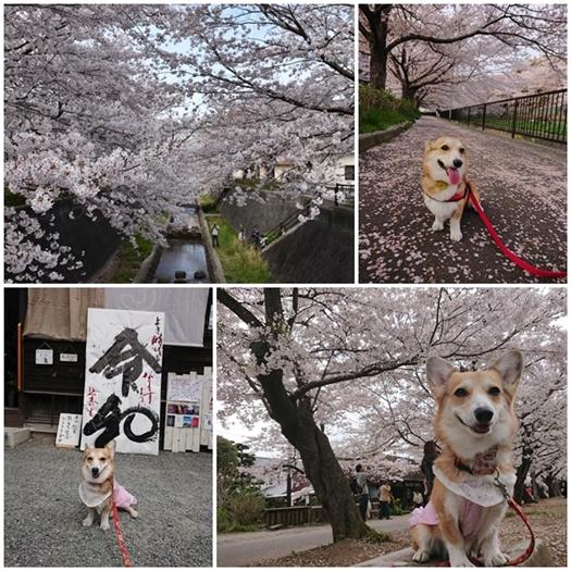 2019-4-1sakura.jpg