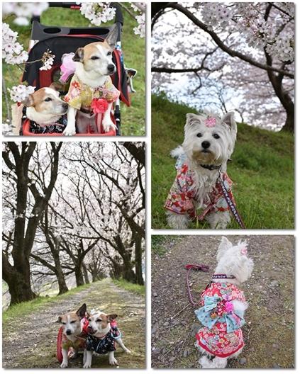 うきは桜2