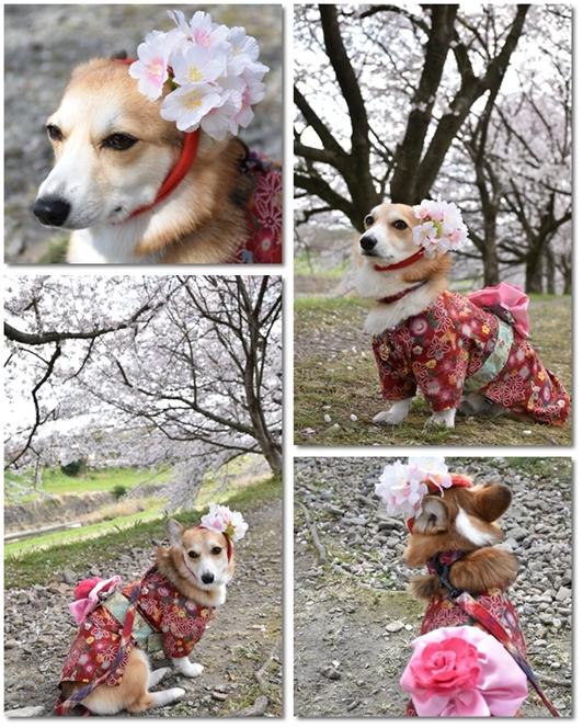 うきは桜1