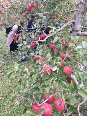 りんご狩り2018_convert_20181107105410