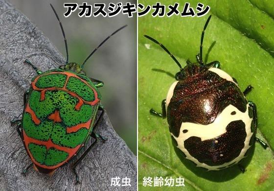 01赤筋金亀虫成幼R1