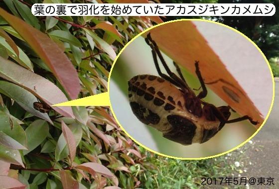 02赤筋金亀虫羽化AR1