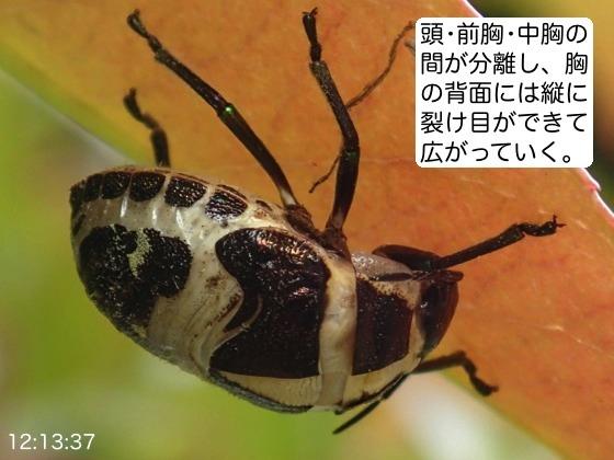 03赤筋金亀虫羽化AR2
