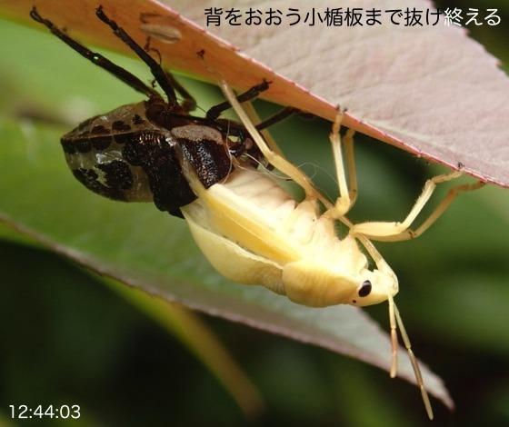 07赤筋金亀虫羽化AR8