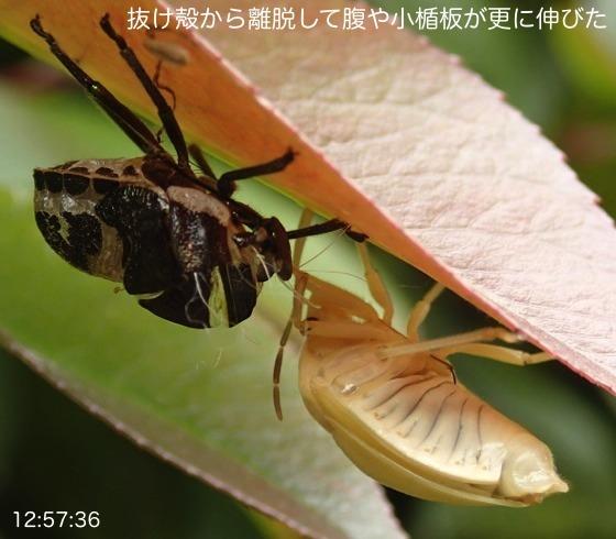 08赤筋金亀虫羽化AR11