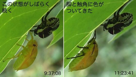 12赤筋金亀虫羽化R5