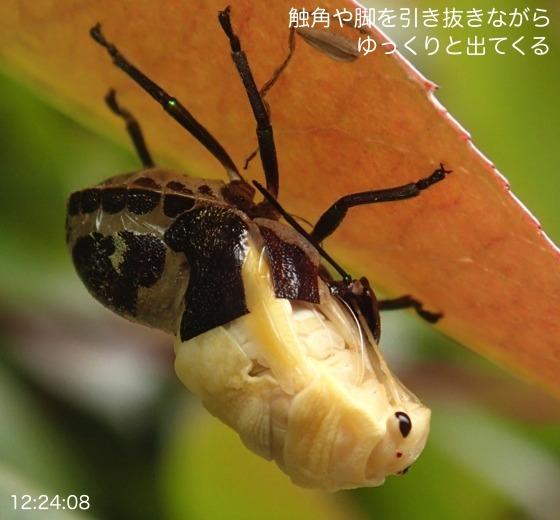05赤筋金亀虫羽化AR5