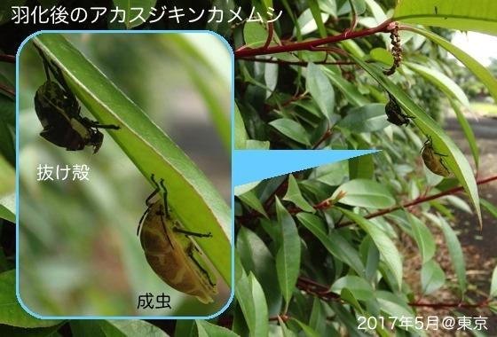 09赤筋金亀虫羽化後aR