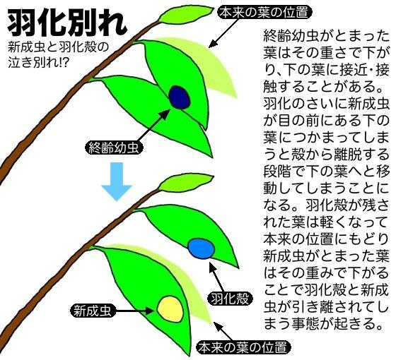 15羽化別れ図解510