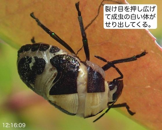 04赤筋金亀虫羽化AR3
