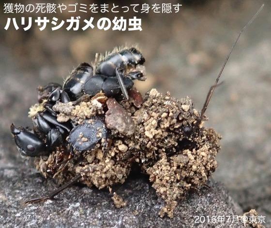 03針刺亀幼虫01再