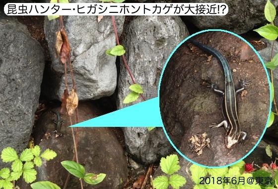 05針刺亀幼虫トカゲ1再