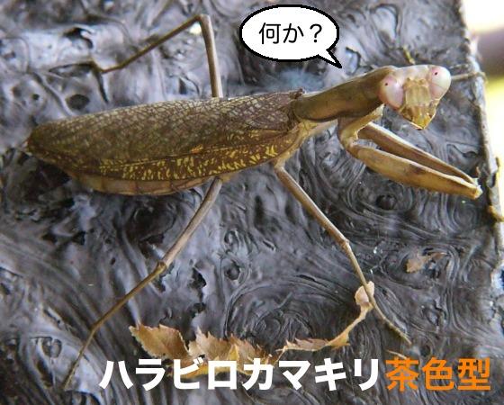 茶色い カマキリ