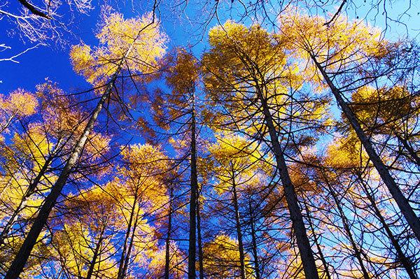 姫神山のカラマツの黄葉