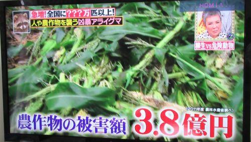 TV アライグマ 農作物被害 3億8千万円 500