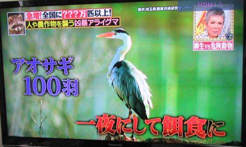 TV アライグマの餌食に 野鳥 500