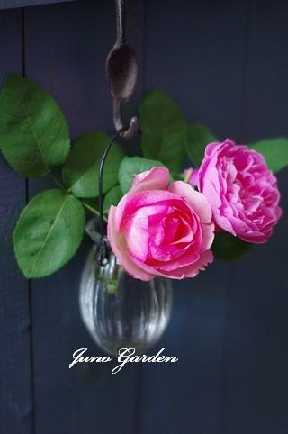 薔薇181106