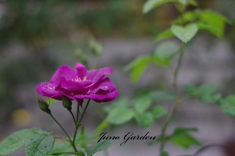 紫バラ181204