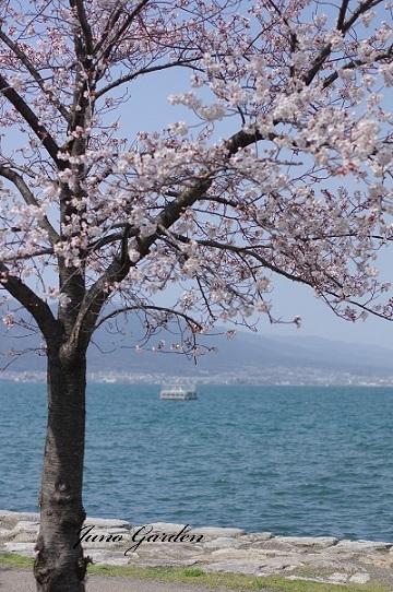 湖岸桜190406