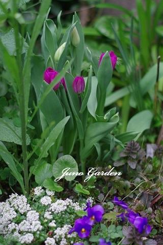 庭チューリップ190417