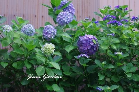 紫陽花190616